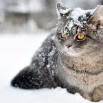 Snowy gray cat desktop wallpaper