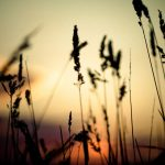 Reed grass small fresh and beautiful desktop wallpaper in the sunset