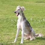 dogs, yawn, color, saluki desktop background