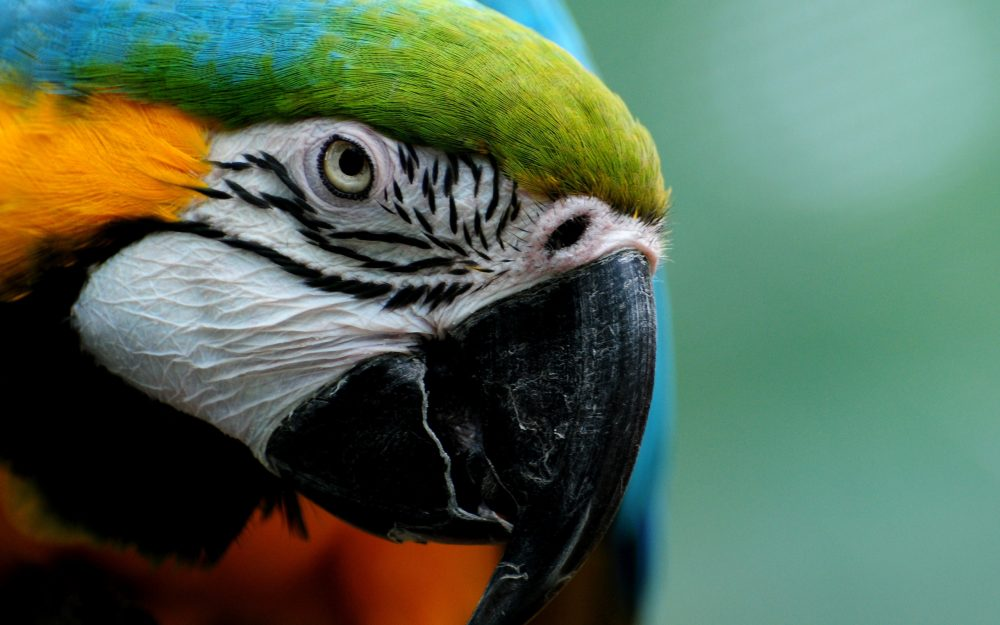 Parrot, beak, close-up, macaw, feathers, look