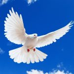 peace pigeon hd wallpaper