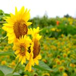 Sunflower computer HD wallpaper download