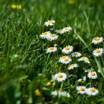 Grass small daisies desktop wallpaper