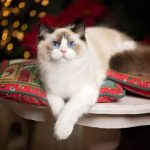 pillows, Cat, Ragdoll, paws, blue eyes