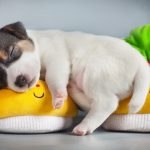 Puppy sleeping on small shoes on desktop wallpaper