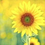 Sunflower flower hd wallpaper