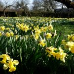 daffodils, trees, flowers, spring desktop background
