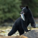 stone, bear, catch, black bear, baribal