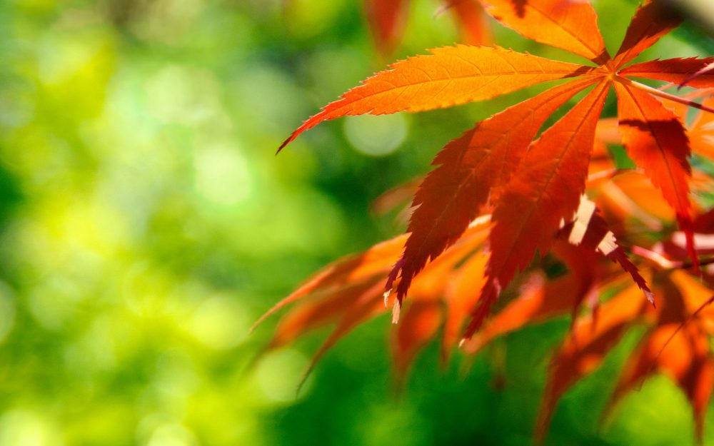 Red maple leaf wallpaper