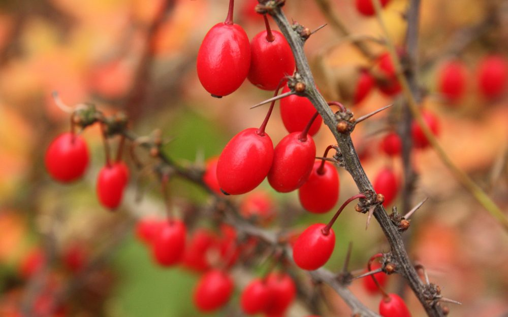 Red, autumn, thorns, berries