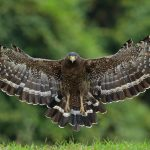 hawk, wings, bird, large crested serpent