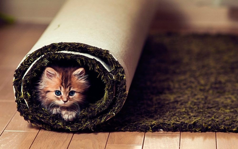 Cat in the carpet desktop wallpaper