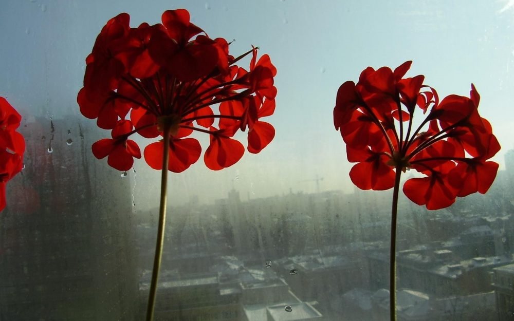 flowers, window, room, red wallpaper
