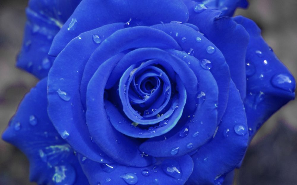 Blue rose desktop background