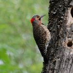 woodpecker hd wallpaper