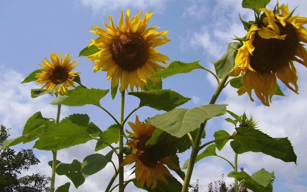sunflower, verdure, height, sky, stems, seeds wallpaper