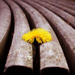 sprouted, bench, flower, dandelion