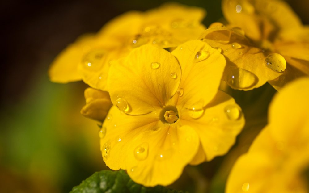 droplets on yellow leaves wallpaper