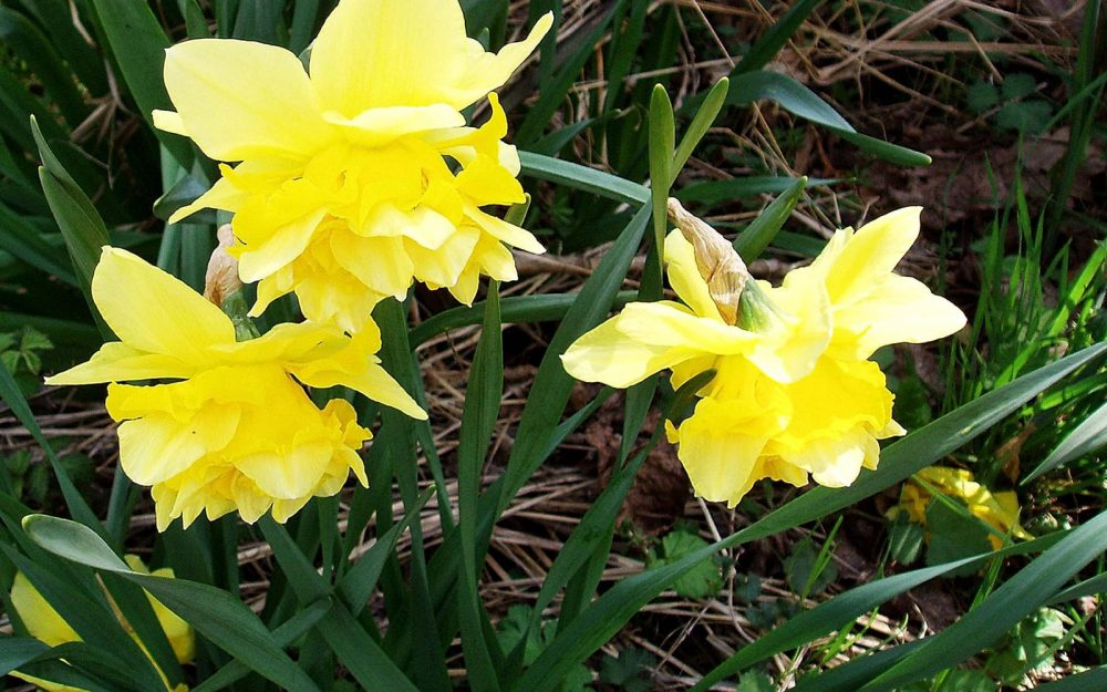 flowers, daffodils, green, yellow