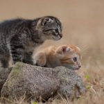 Two kittens, gray and yellow, cute wallpaper