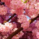Cherry blossom bloom hd wallpaper