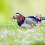 mandarin duck desktop wallpaper
