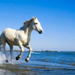 Camargue horse seaside white horse running desktop wallpaper