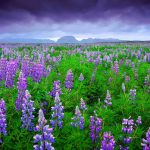 Blooming lupines Icelandic landscape desktop wallpaper on the hillside