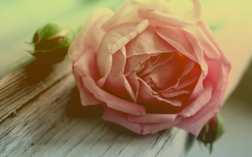 Pink rose desktop background