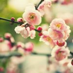 Pink peach blossom wallpaper