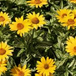 yellow, flowers, flowerbed