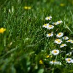 greens, grass, daisies, meadow, flowers