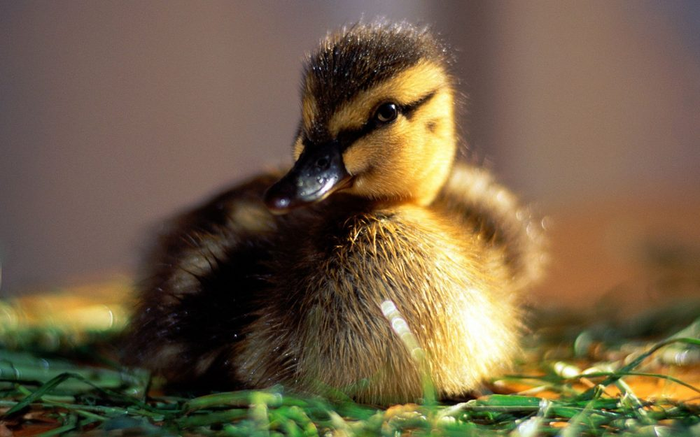 Cute duckling HD wallpaper pictures