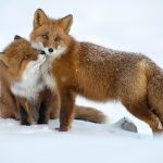 nature of Russia, courtship, Fox