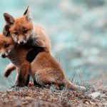 small, two, foxes