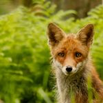 looking fox