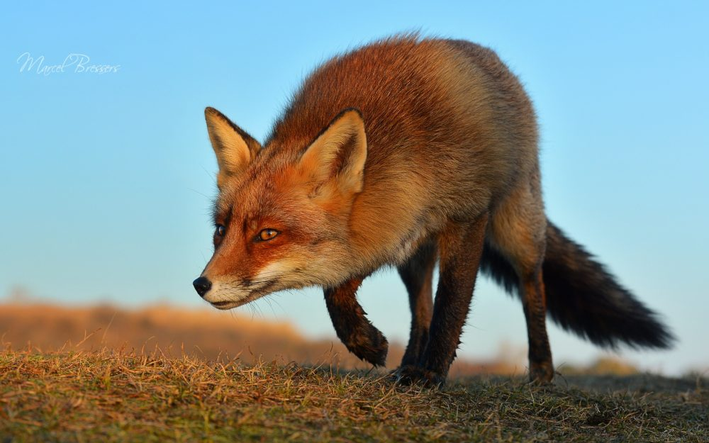 sly, sneaking, face, fox