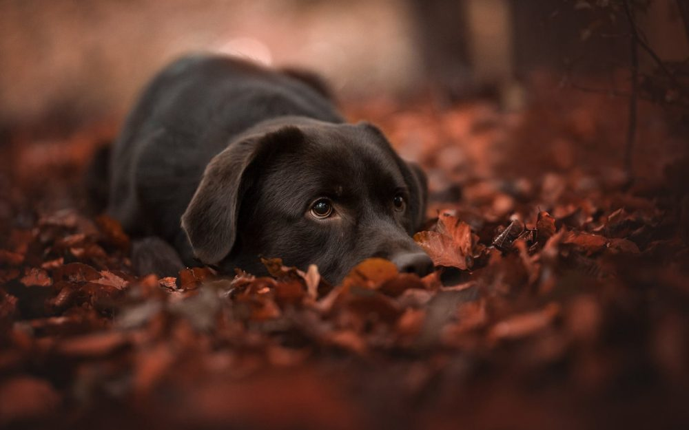 Dog, autumn, foliage, face