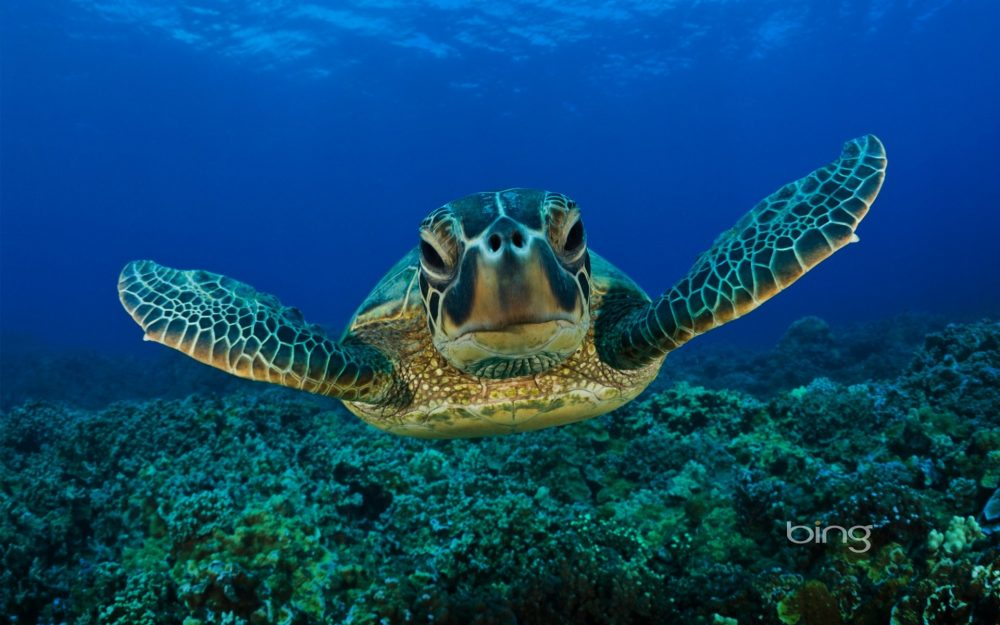 Undersea green turtle bing HD wallpaper desktop