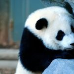 Computer desktop wallpaper giant panda HD download