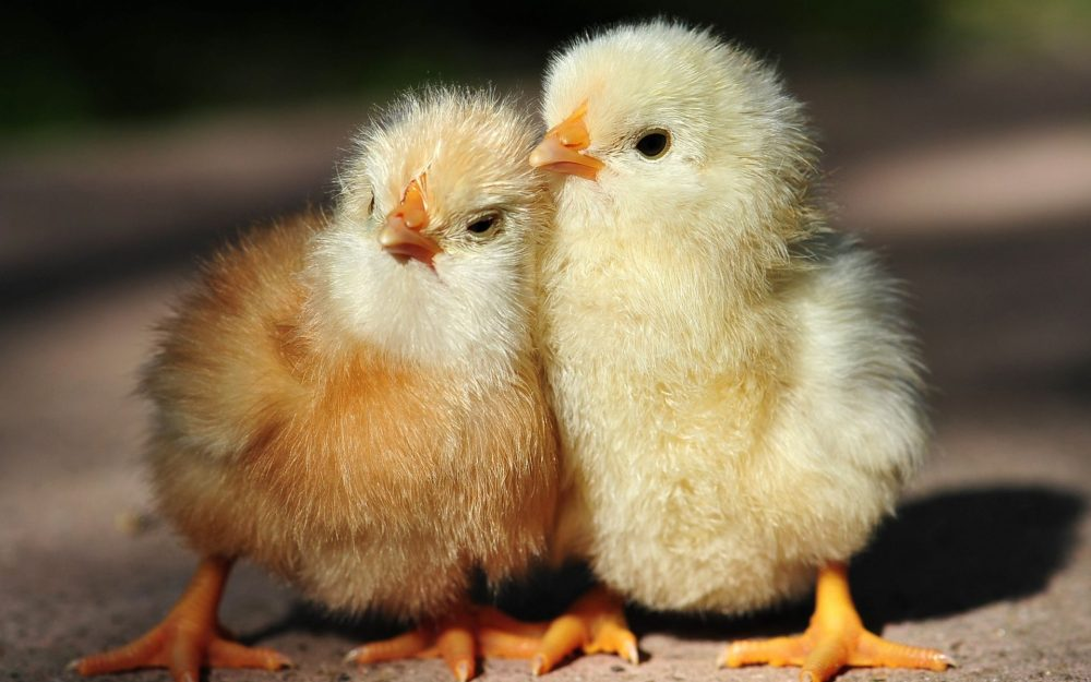 Cute chick animal wallpaper picture