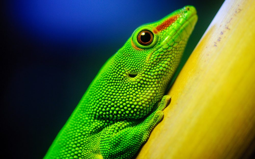 Green lizard HD wallpaper