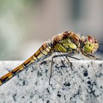 insect, rock, dragonfly