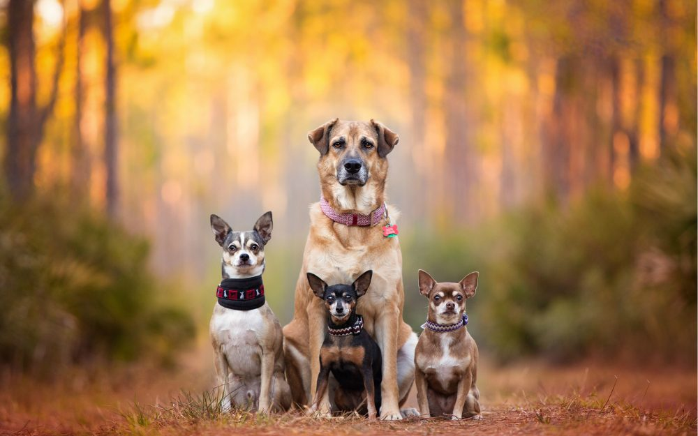 dogs, Family, dog family, dog breath, chihuahua, pinscher, Kaylee Greer, bokeh, cute dogs