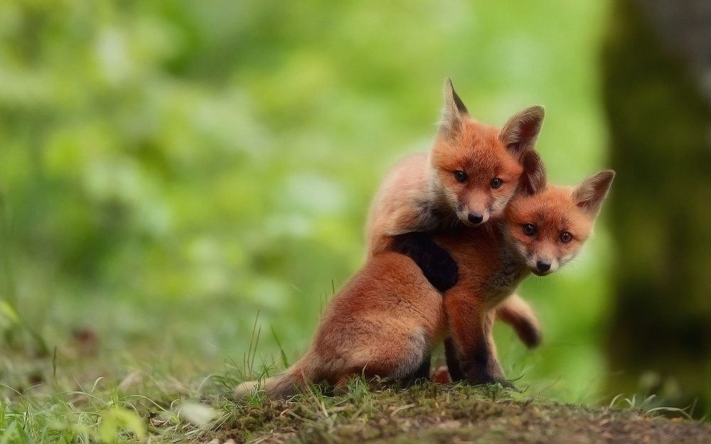 two brothers, foxes, play, foxes, watch