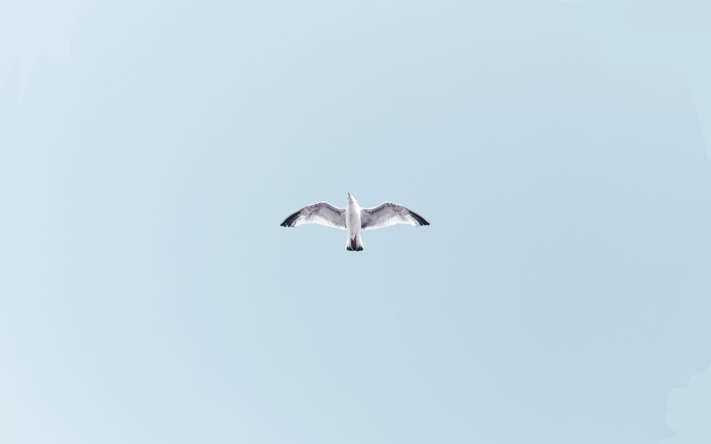 soar, sky, bird, flight, seagull