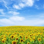 Clouds, Sunflowers, Sky, Field