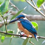 Branches pretty animal Kingfisher HD Wallpaper