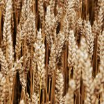 Spikelets, ears, nature, field, wheat spike, close up