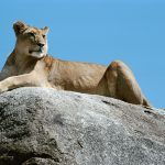 Lioness hd wallpaper
